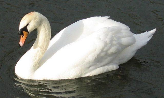Burung Terbesar Di Dunia mute swan (Cygnus olor)