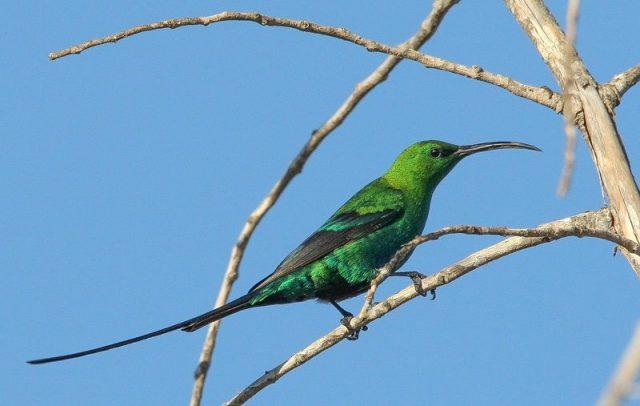 Gambar Burung malachite sunbird