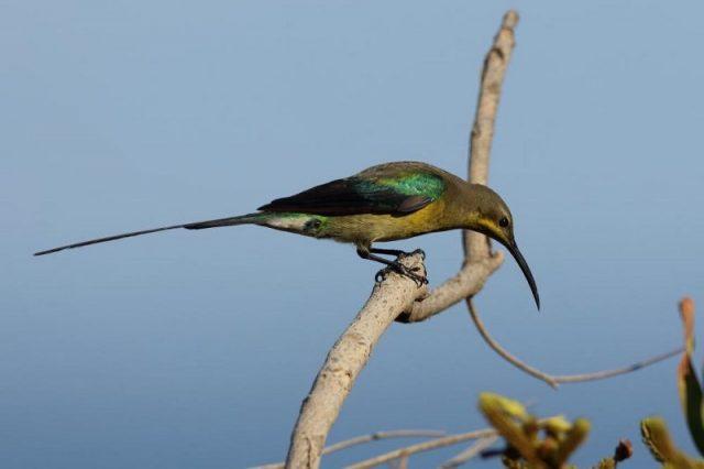 Gambar Burung malachite sunbird ( Nectarinia famosa )