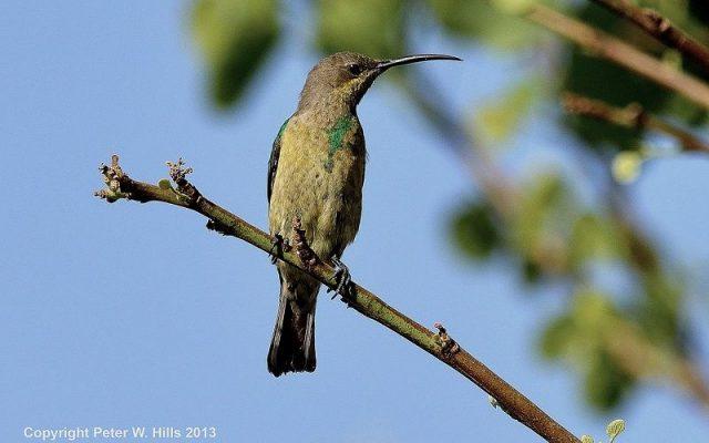 Burung malachite sunbird ( Nectarinia famosa ) jenis betina