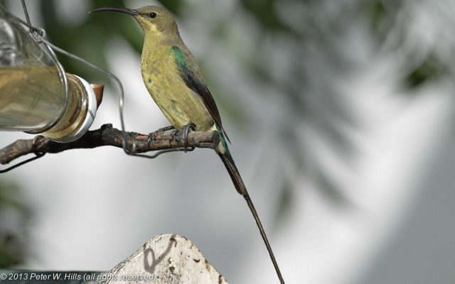 Foto Burung malachite sunbird ( Nectarinia famosa )