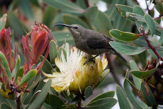 Gambar Burung malachite sunbird betina