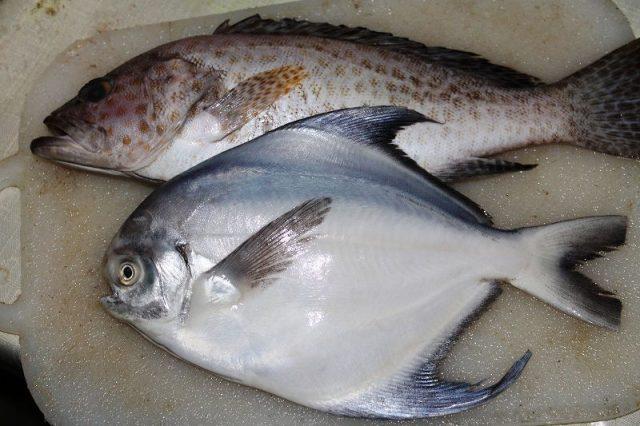 Gambar Harga Ikan Laut - Ikan Bawal Bintang