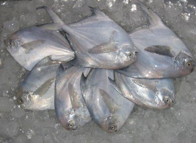 Gambar Harga Ikan Laut - Ikan Bawal Laut