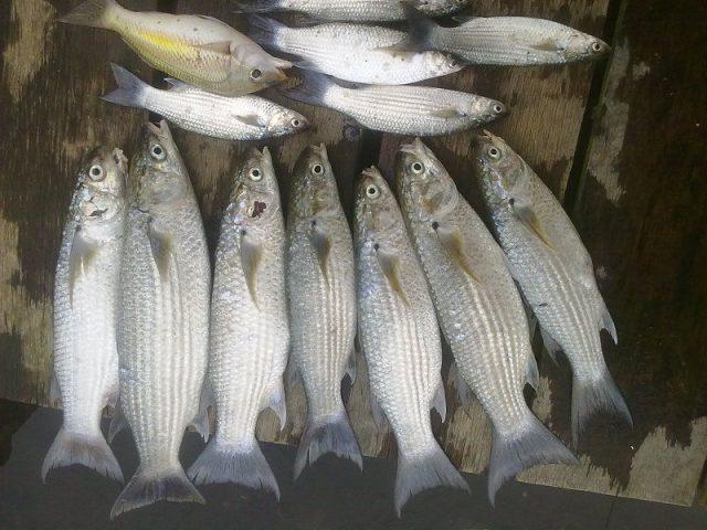 Gambar Harga Ikan Laut - Ikan Belanak