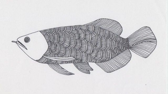 Gambar Ikan Arwana - sketsa gambar ikan arwana baby