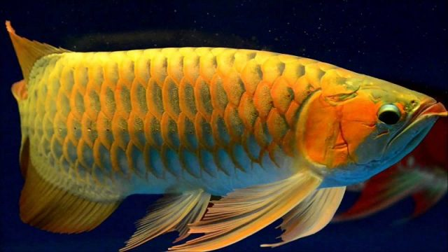 Gambar Ikan Arwana Golden Red - wallpaper ikan arwana