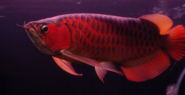 Gambar Ikan Arwana - wallpaper ikan arwana hd