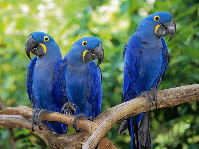 Gambar Hyacinth Macaw