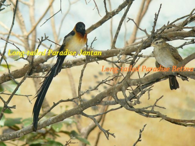 Gambar Burung Ekor Panjang Long-tailed Paradise Jantan Dan Betina