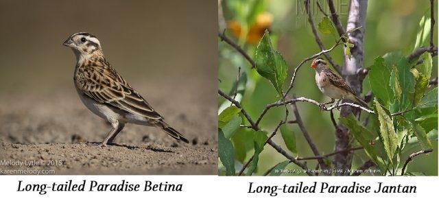 Gambar Burung Ekor Panjang Long-tailed Paradise male