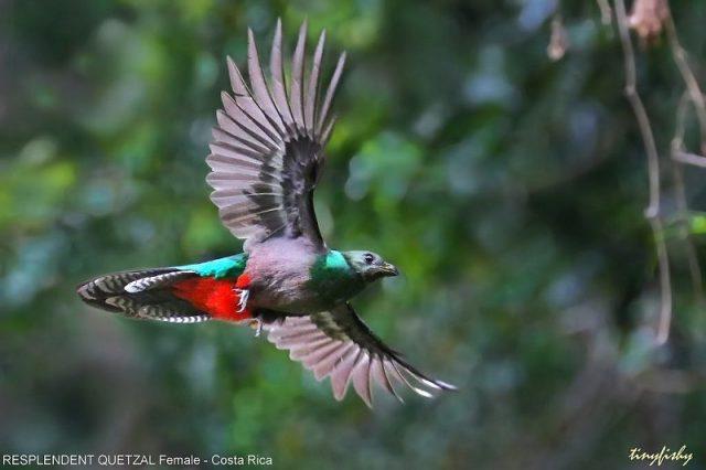 Gambar Burung Ekor Panjang Resplendent Quetzal Betina