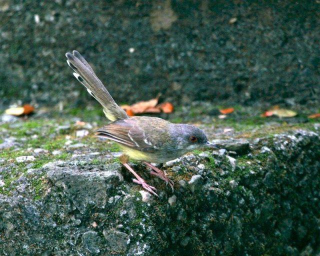 Gambar Burung Kecil Bersuara Merdu - Prenjak