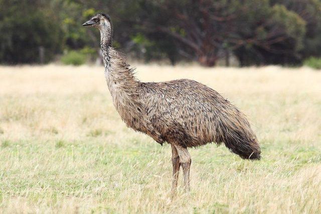 Gambar Burung Terbesar Di Dunia Emu (Dromaius novaehollandiae)