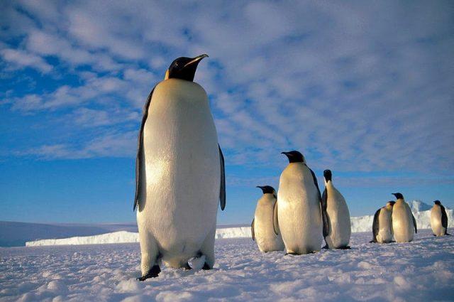 Gambar Burung Terbesar Di Dunia emperor penguin (Aptenodytes forsteri)