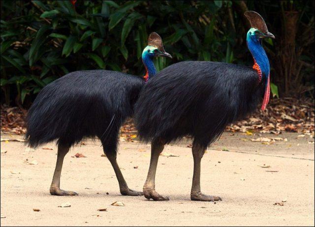 Gambar Burung Terbesar Di Dunia southern cassowary (Casuarius casuarius)