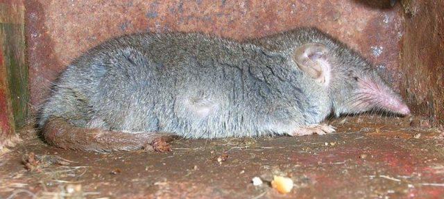 Gambar Cara Mengusir Tikus Curut