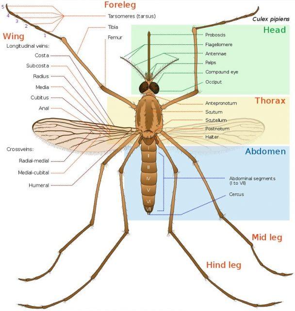 Ciri Ciri Nyamuk Mempunyai Dua Sayap Bersisik