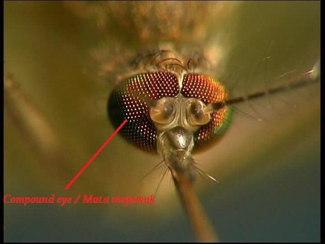 Gambar Ciri Ciri Nyamuk Pada bagian kepala nyamuk terdapat adanya Mata majemuk