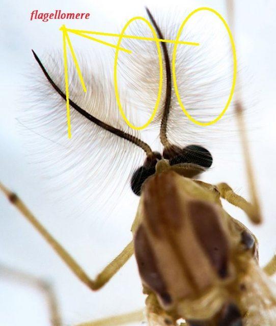 Gambar Ciri Ciri Nyamuk Pada bagian kepala nyamuk terdapat adanya flagellomere