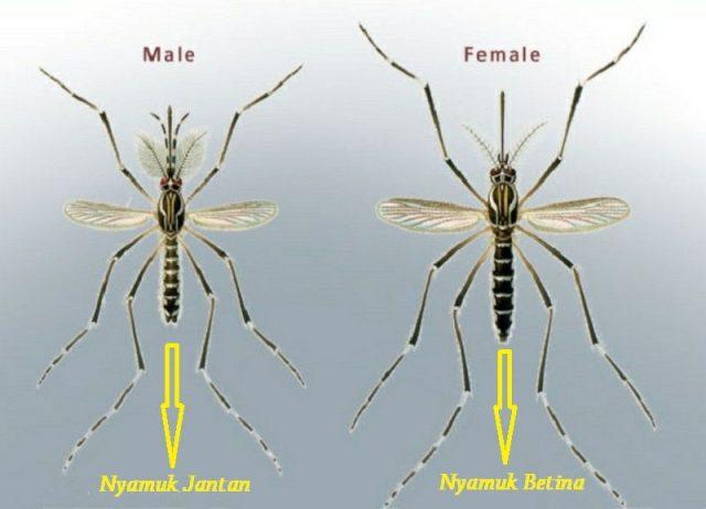 Ciri Ciri Nyamuk jantan lebih kecil dibandingkan nyamuk betina