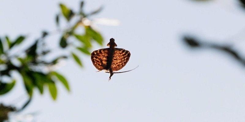 Gambar Cicak Terbang Meluncur