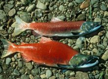 Gambar Ikan Salmon -Sockeye salmon