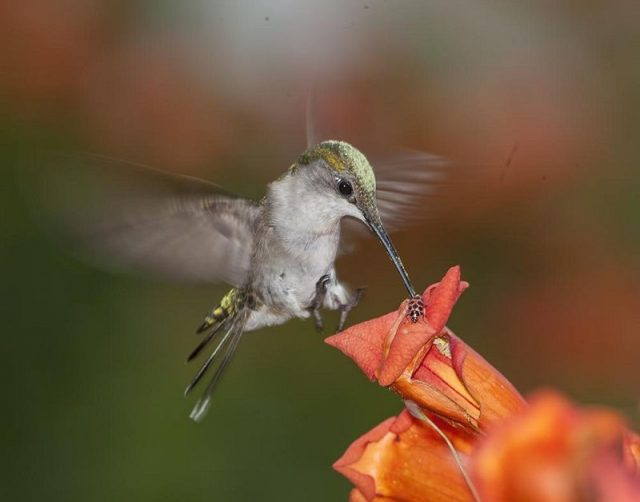Gambar Jenis Burung Kolibri Berleher Rubi