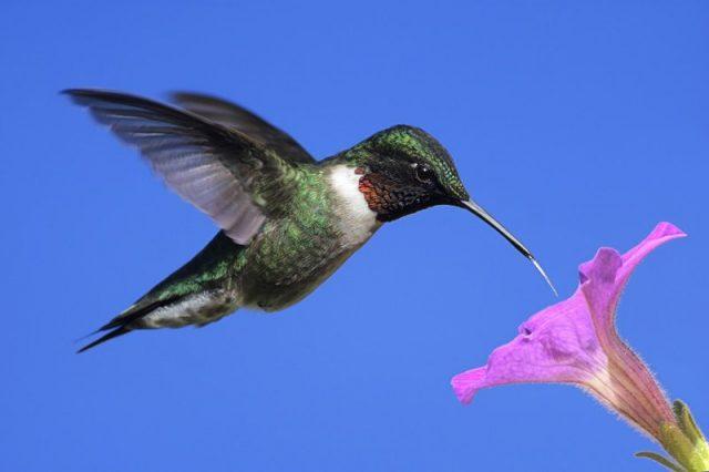 Gambar Makanan Kolibri Berleher Rubi