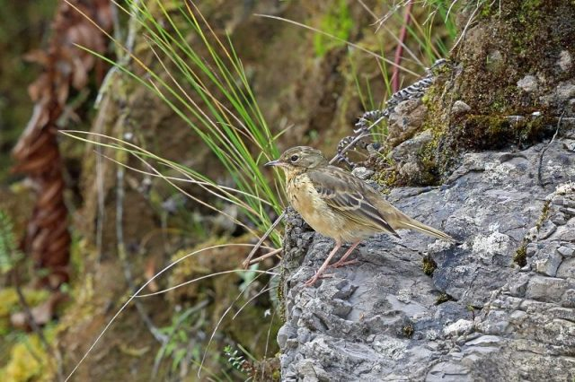 Gambar Alpine papua