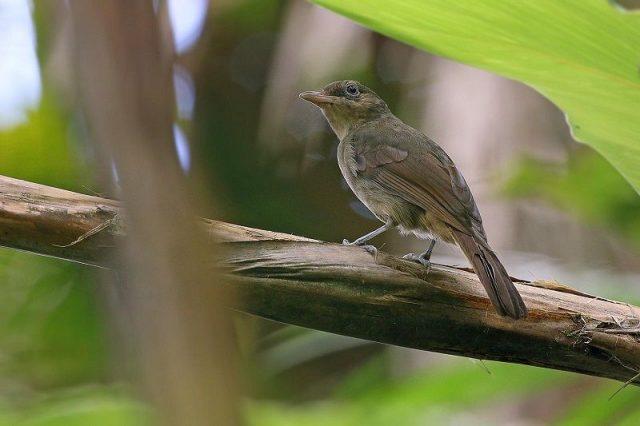 Gambar Nama Nama Burung Dan Gambarnya Dari Huruf A - Anis-bentet sangihe