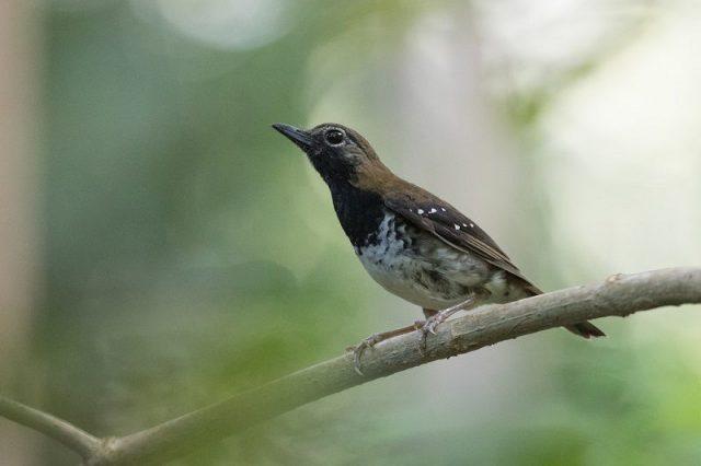 Gambar Nama Nama Burung Dan Gambarnya Dari Huruf A - Anis buru