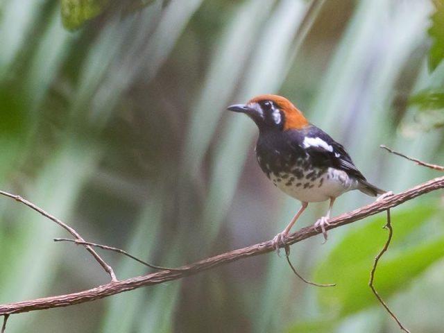 Gambar Nama Nama Burung Dan Gambarnya Dari Huruf A - Anis cacing
