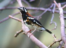 Nama Nama Burung Dan Gambarnya Dari Huruf A - Anis nusa tenggara