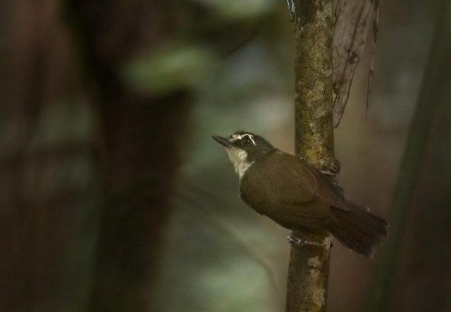 Gambar Nama Nama Burung Dan Gambarnya Dari Huruf A - Asi dada-kelabu
