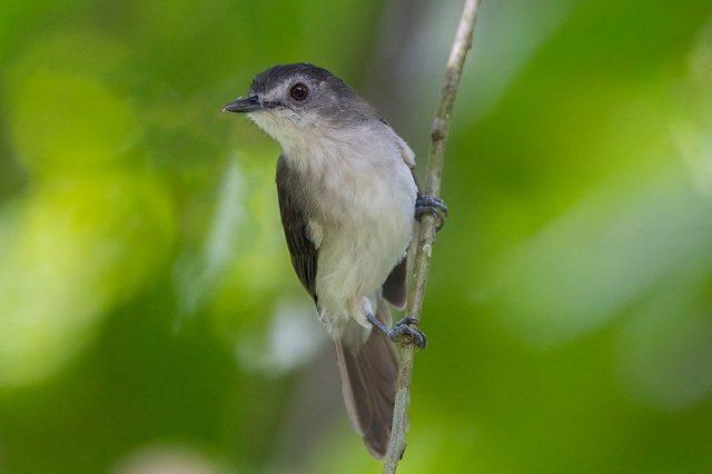 Gambar Nama Nama Burung Dan Gambarnya Dari Huruf A - Asi topi-jelaga