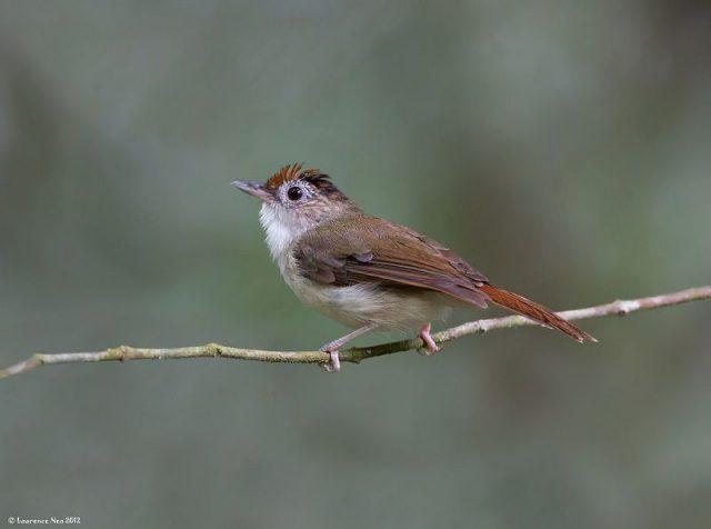 Gambar Nama Nama Burung Dan Gambarnya Dari Huruf A - Asi topi-sisik