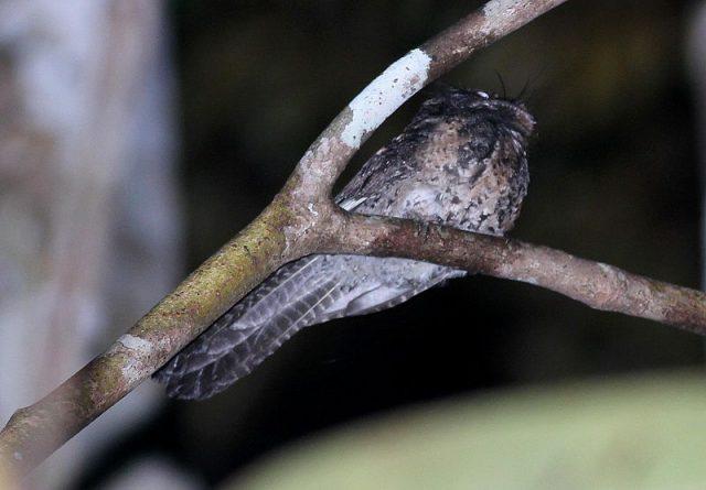 Gambar Nama Nama Burung Dan Gambarnya Dari Huruf A - Atoku wallacea
