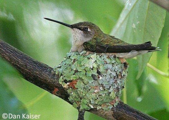 Gambar Telur Kolibri Berleher Rubi