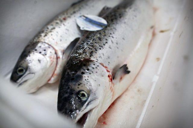 gambar ikan salmon dan manfaatnya