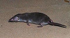 Gambar Kaki Tikus Curut Pendek