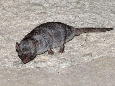 Gambar Tikus Curut