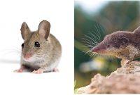 Gambar Perbedaan Curut Dan Tikus