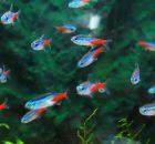 Gambar Ikan Hias Kecil Bergerombol