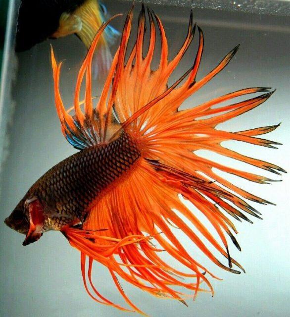 Gambar Ikan Hias Kecil Tanpa Oksigen Cupang