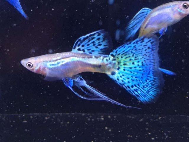Gambar Ikan Hias Kecil Tanpa Oksigen Guppy