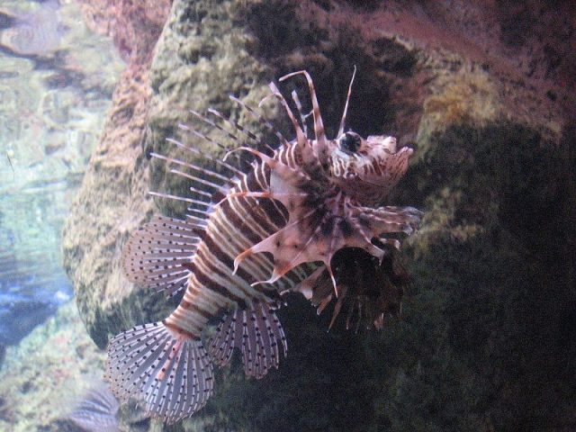 Gambar Ikan Hias Spesies Perwakilan Ikan African lionfish