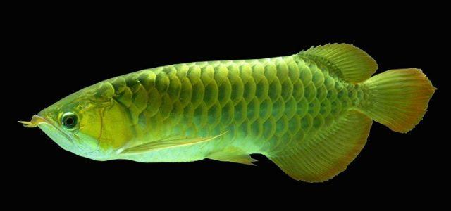 Gambar Ikan Hias Spesies Perwakilan Ikan Arwana asia