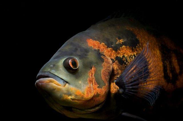 Gambar Ikan Hias Spesies Perwakilan Ikan Astronotus