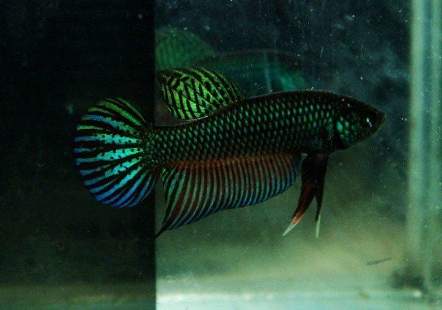 Gambar Ikan Hias Spesies Perwakilan Ikan Betta smaragdina